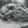 デッサン/ライオン頭骨、籐椅子、石膏球体ほか 木炭紙
